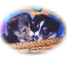 Image of sable and tricolor sheltie puppies in basket